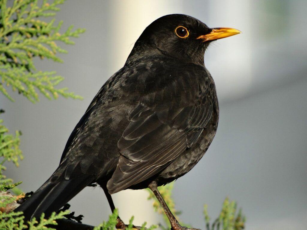 Pássaro Melro Negro