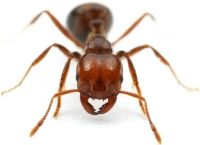 Formigas Valentes